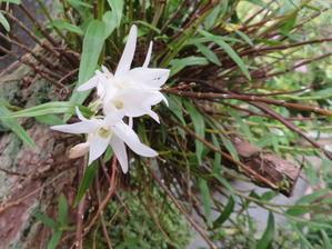 季節外れのセッコク咲く 我が家の花 - 風の便り