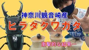 観音崎産のヒラタクワガタ - 観音崎自然博物館どたばた学芸日誌 II