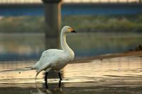 ひとりぼっちの白鳥 - はっぴいでいず