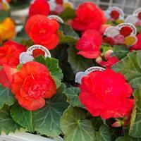 【球根ベゴニアの寄せ植え】新しい動画UP! - さにべるスタッフblog     -Sunny Day's Garden-