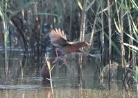 今日の鳥類情報!(2021.9.23) - 葛西臨海公園・鳥類園Ⅱ