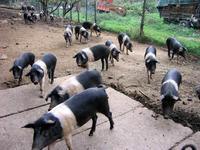 幻の黒豚チンタセネーゼ♪ - Romy's Mondo ~料理教室主宰Romyの世界~