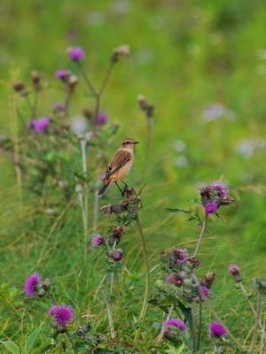 高原のアザミにとまるノビタキ  UYB - シエロの野鳥観察記録