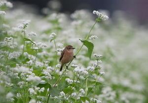 渡りの立ち寄りのノビタキを その1(蕎麦畑にてシーズン初の出会い) - 私の鳥撮り散歩