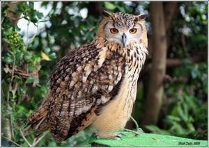 間近で見れるベンガルワシミミズク - 野鳥の素顔 <野鳥と日々の出来事>