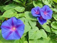 オーシャンブルー開花 - 手柄山温室植物園ブログ 『山の上から花だより』