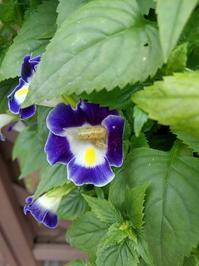 トレニアにも虫、コスモス、マツバギク - ウィズコロナのうちの庭の備忘録~Green's Garden~