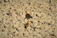 ムナグロ(胸黒.Pacific Golden Plover:Pluvialis fulva) - なんでもブログ2