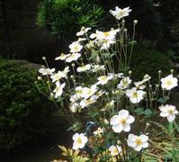 庭の花#28「シュウメイギク」 - 古稀からの日々