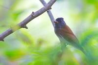 10月にサンコウチョウを写せた年もあった - 上州自然散策3