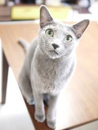 猫のお留守番 虎徹くん編。 - ゆきねこ猫家族