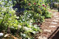 北側花壇のノリウツギとホスタ - my small garden~sugar plum~