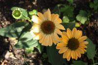 エキナセアの返り咲き/左右同時編み靴下のかかと - L'Écume des jours ~バラの庭で~