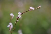 サクラタデ(桜蓼) - ecocoro日和