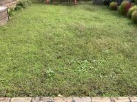 クラピアの庭のメヒシバ、カタバミ、チチコグサ - ウィズコロナのうちの庭の備忘録~Green's Garden~