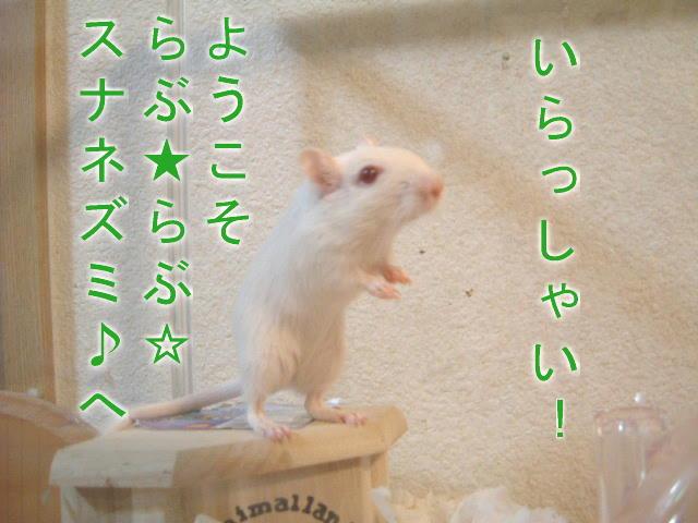 スナネズミの画像 p1_38