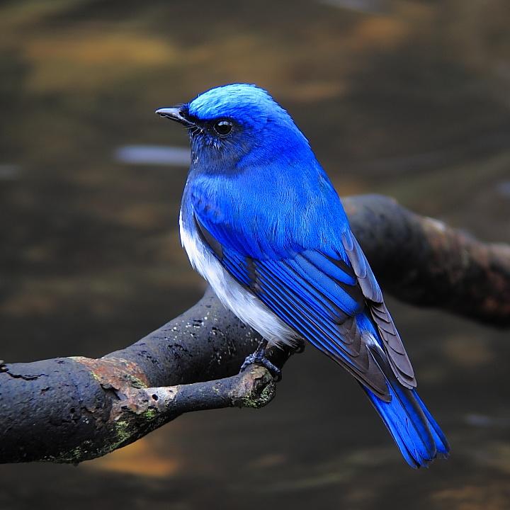 種類 青い 鳥