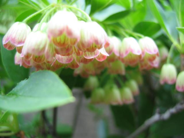 更紗ドウダンの花が咲きました。_a0015682_175348.jpg