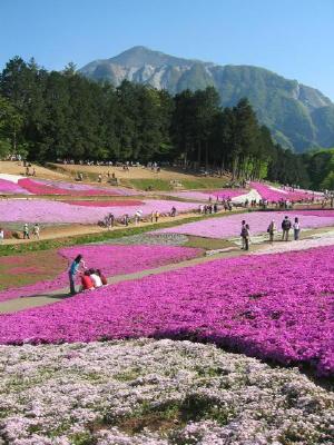 秩父羊山公園の芝桜を見てきたよ!_a0015682_101814.jpg