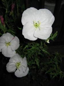 白い花の月見草_a0015682_215242.jpg