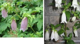 ホタルブクロ(蛍袋)が咲いていました。_a0015682_22284.jpg