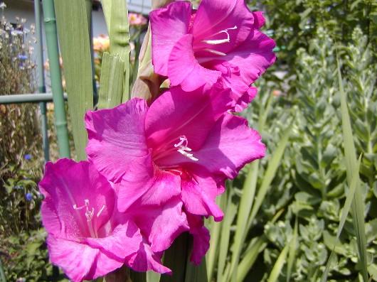 ☆。。。 グラジオラスの花 (1)。。。☆_a0004023_73027.jpg