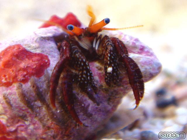 サンゴヨコバサミ!_a0017072_1412124.jpg
