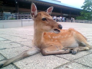 宮島日帰り珍道中6・鹿の住民権はあるのか?編_a0033733_23324725.jpg