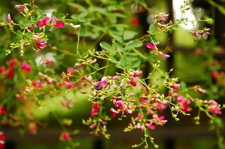 萩の花_a0020021_2218484.jpg