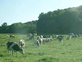 フランスの牛、宮崎の牛_b0001864_1594612.jpg