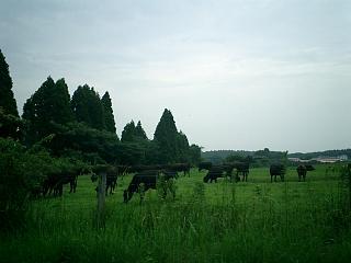 フランスの牛、宮崎の牛_b0001864_1595788.jpg