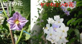 pastelさん・・・茄子の花だよ_a0015682_2158660.jpg