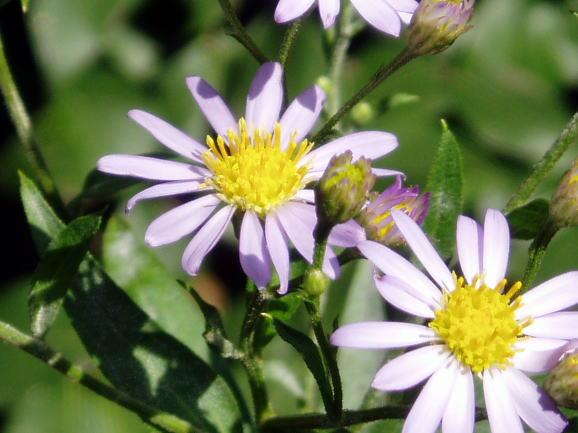 シオン・紫苑
