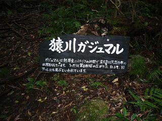 屋久島・猿川ガジュマル園_b0013984_6532916.jpg