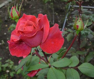 秋のバラ_a0001354_18501135.jpg