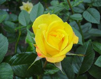 秋のバラ_a0001354_18511871.jpg