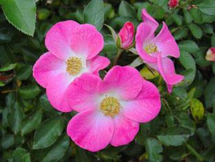 秋のバラ_a0001354_18522033.jpg
