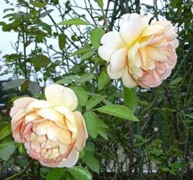 秋のバラ_a0001354_1852775.jpg