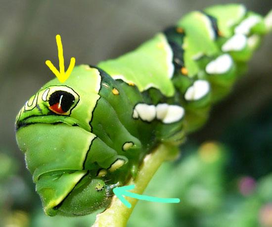アゲハの幼虫の目ってどこ??_b0025008_22485685.jpg