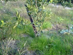 みかんの草生栽培_b0028299_1849557.jpg