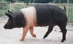 ★ブタにもストレス症候群が・・ストレス豚の肉はまずい!!_a0028694_18495183.jpg
