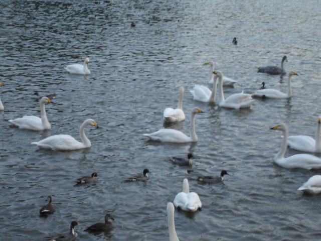 うれしい白鳥、さびしい白鳥_a0025572_21323242.jpg