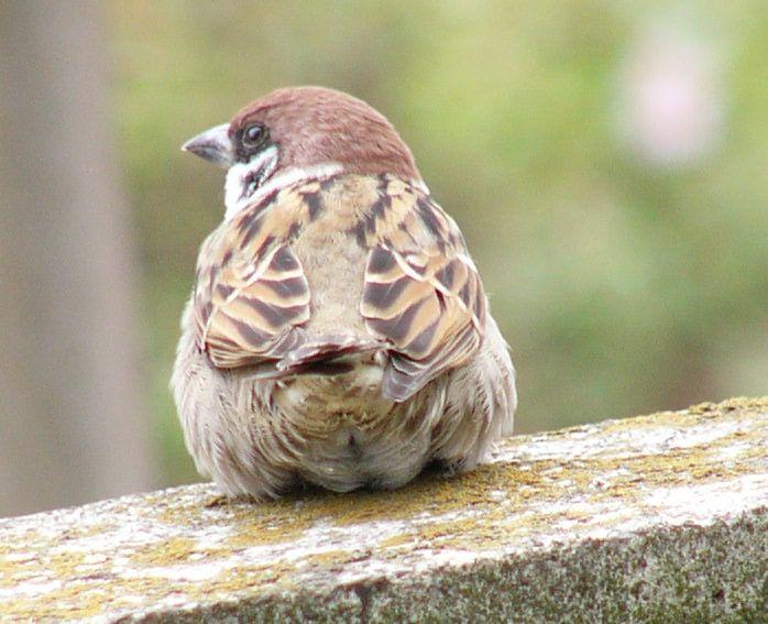 雀の後ろ姿画像