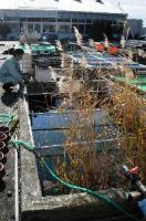 鯉が琵琶湖を救う_b0052564_1244193.jpg
