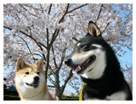 桜に似合う日本犬_b0057675_15153687.jpg