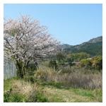 桜に似合う日本犬_b0057675_15155293.jpg