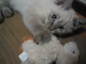 猫の魅力3 爪その1_c0006826_7211515.jpg
