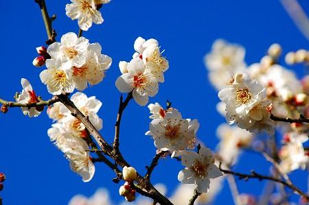 梅の花_a0020021_23583449.jpg