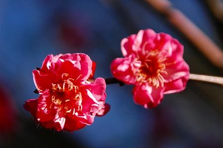 梅の花_a0020021_035234.jpg