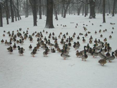 雪の中の鴨_b0017215_742170.jpg